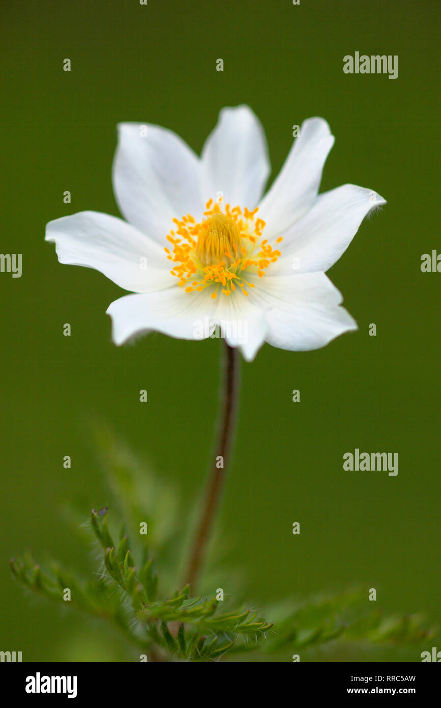 botany, alpine anemone, cow bell, Pulsatilla alpina, Alps, Austria, Additional-Rights-Clearance-Info-Not-Available - Stock Image