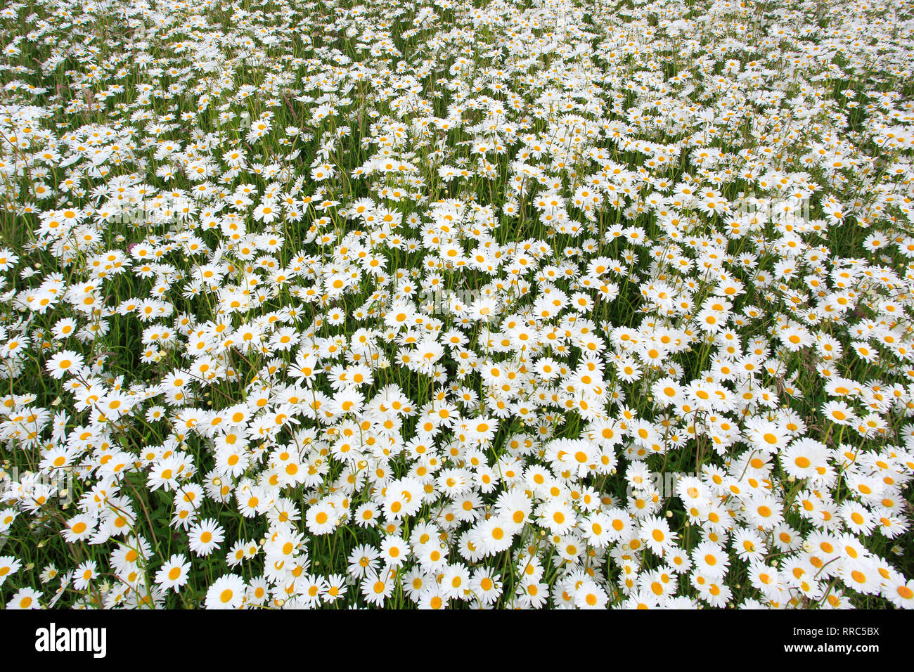 botany, marguerite, Leucanthemum vulgare, oxeye daisy, Additional-Rights-Clearance-Info-Not-Available Stock Photo