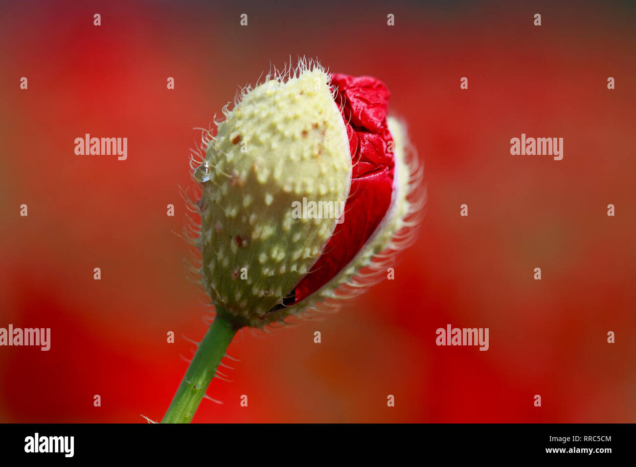 botany, scandal poppy, Papaver rhoeas, Switzerland, Additional-Rights-Clearance-Info-Not-Available - Stock Image