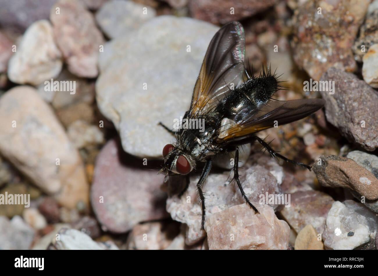 Tachinid Fly, Uramya indita Stock Photo