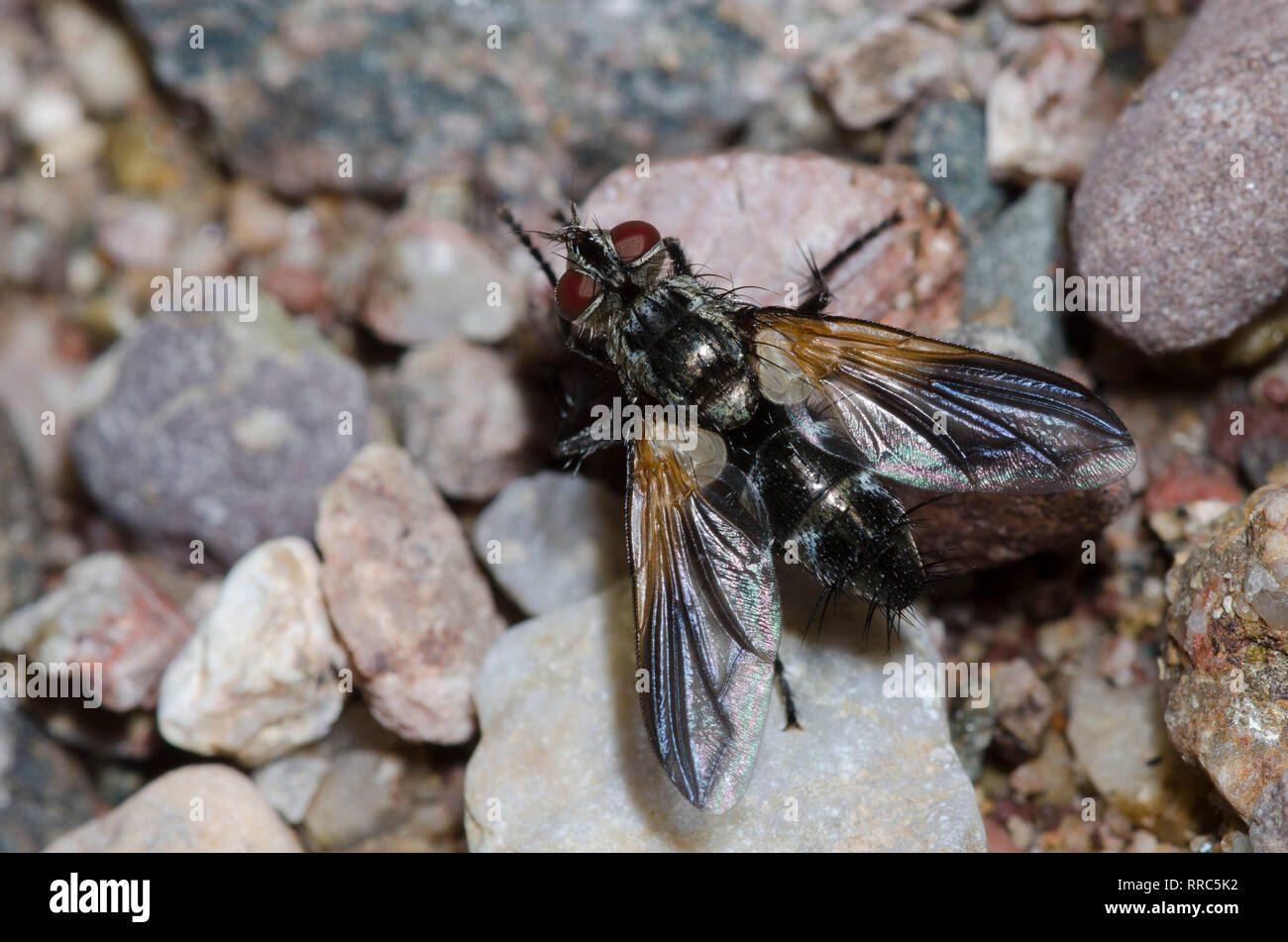 Tachinid Fly, Uramya indita Stock Photo