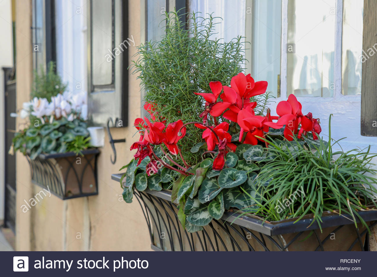 window boxes planted with rosemary and blooming cyclamen on a street in the historic district of Charleston, South Carolina - Stock Image