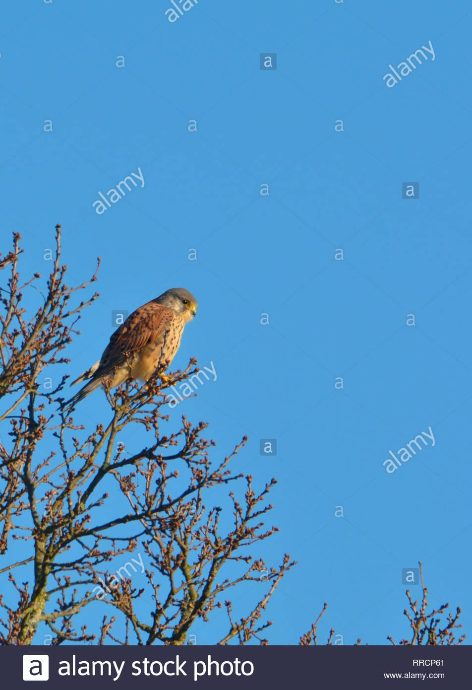 Common Kestrel (Falco tinnunculus - European kestrel, Eurasian kestrel, or Old World kestrel) Male, perching in a tree, Kent, UK, February - Stock Image