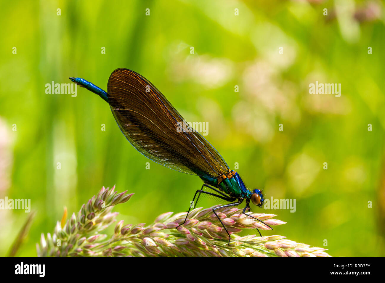 Detail of a Male Beautiful Damselfly, also Known as Demoiselle Agrion (Calopteryx virgo) Resting on a GrassFlower Beside the River Torridge. Stock Photo