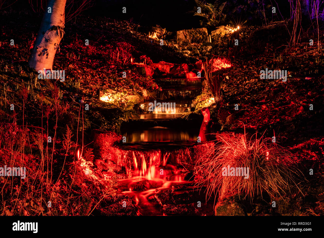 Colourful Winter Glow Event. Night View of Red Lit Plants and Stream With Small Waterfall and Reflections at a Winter event, RHS Rosemoor, Torrington. - Stock Image