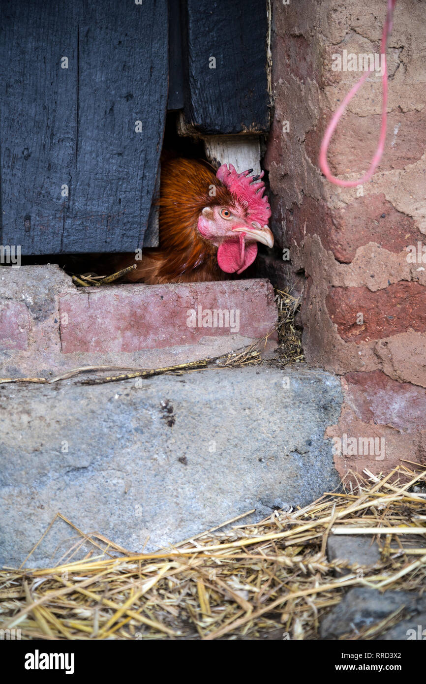 chicken in farmyard,Agricultural Field, Chicken - Bird, Hen, UK, Agriculture, Animal, Animal Body Part, Animal Head, Brown, Close To, Close-up, - Stock Image