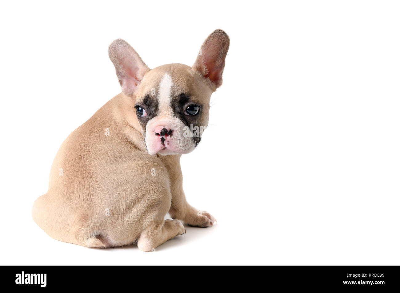 Cute little French bulldog sitting isolated on white background, Pet animal concept - Stock Image