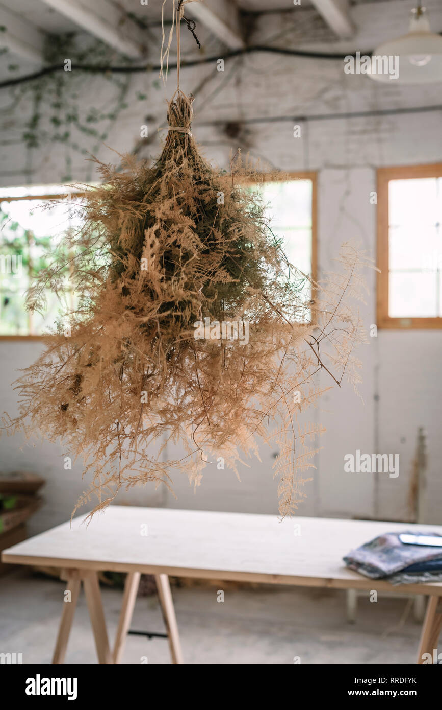 Concept of bunch of coniferous twigs drying and hanging on twist in grey room with table - Stock Image