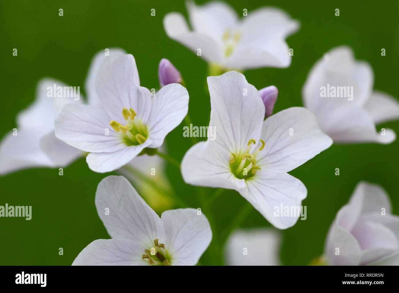 botany, cuckoo flower, Cardamine pratensis, cuckoo flower, Switzerland, Additional-Rights-Clearance-Info-Not-Available Stock Photo