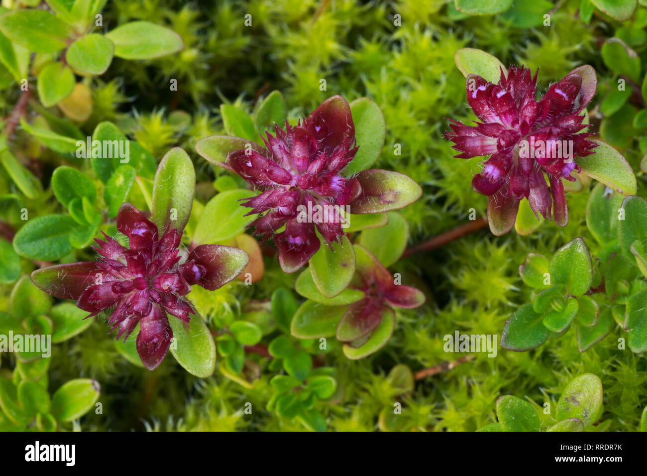 botany, savage thyme, thymus serpyllum, Breckland thyme, Switzerland, Additional-Rights-Clearance-Info-Not-Available - Stock Image