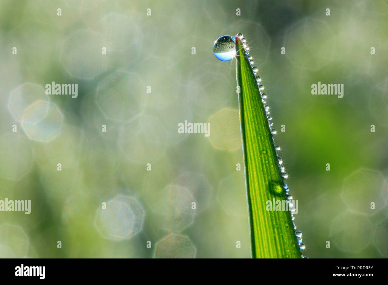 botany, blade of grass with dew drop, Switzerland, Additional-Rights-Clearance-Info-Not-Available - Stock Image