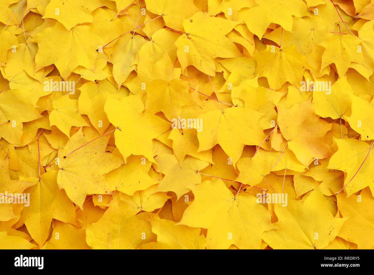 Botanik, mass of maple leaves in fall, Additional-Rights-Clearance-Info-Not-Available - Stock Image