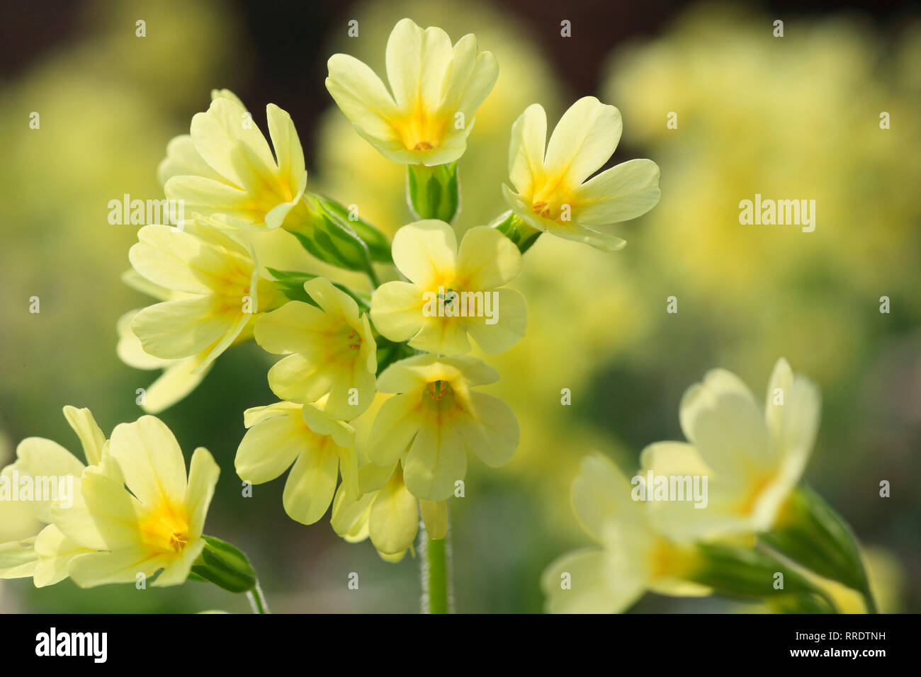 botany, cowslip, Primula veris, Switzerland, Additional-Rights-Clearance-Info-Not-Available Stock Photo