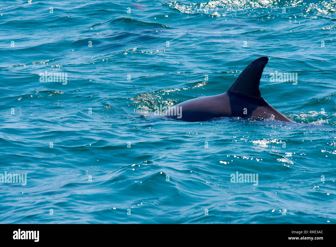 Dolphin floating, jumping and diving in the blue sea with waves Stock Photo