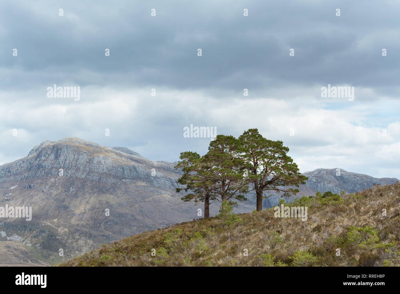 Scots Pines - Pinus sylvestris - remnants of the ancient Caledonian Forest - Beinn Eighe National Nature Reserve, Scottish Highlands, UK - Stock Image