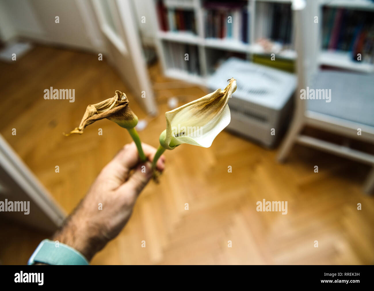 POV at hand holding two dead calla flower against colorful background deadpan home environment background - Stock Image