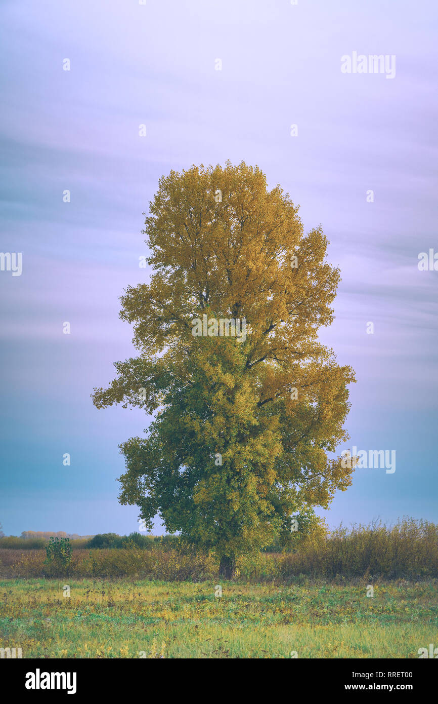 Old tall poplar with yellow leaves on autumn meadow Stock Photo