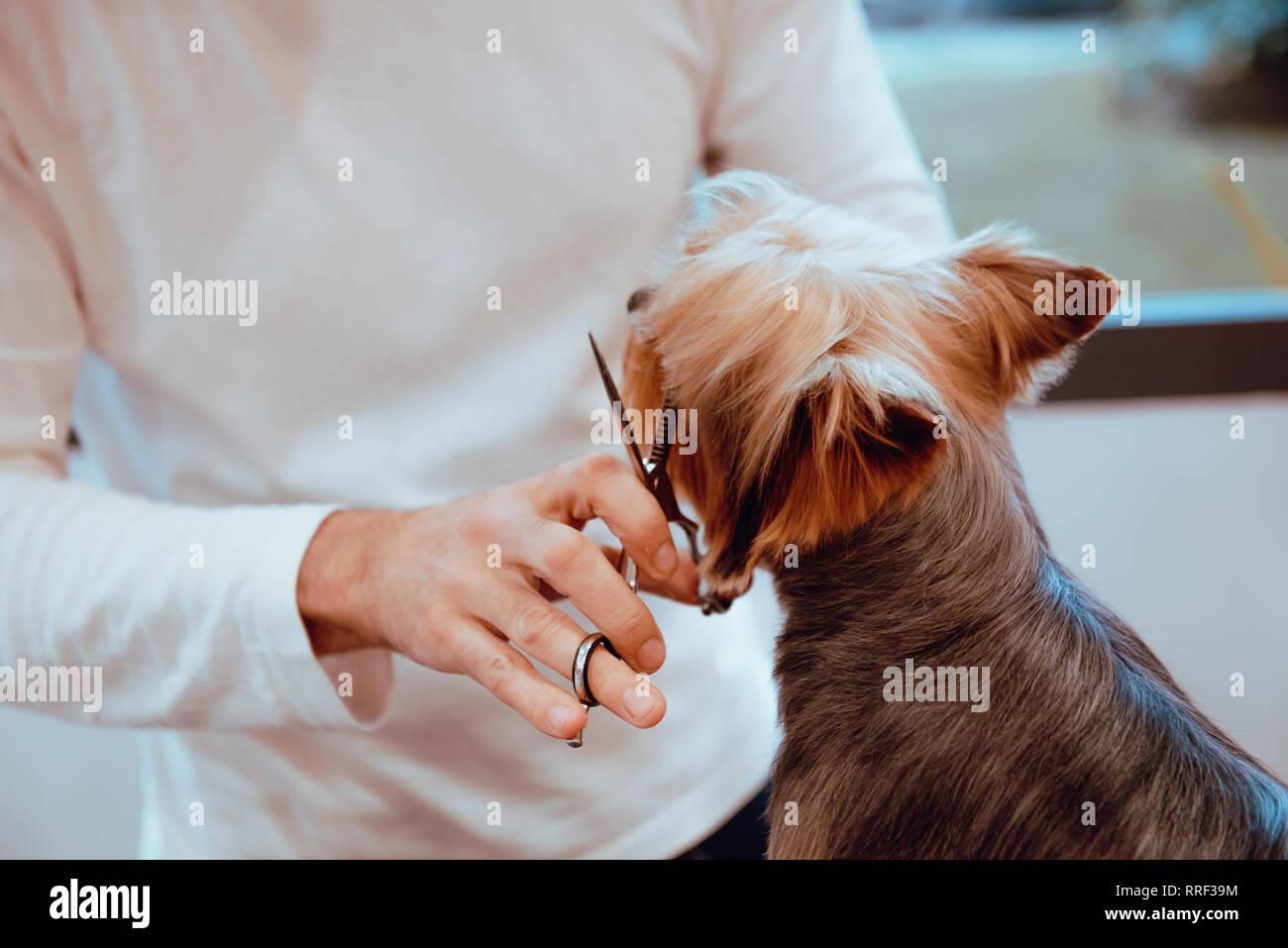 Crop groomer trimming fur of little dog - Stock Image