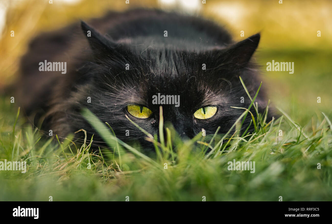 Close up portrait of tomcat (Chantilly Tiffany)  laying on the grass and looking  to camera on sunset. Dark black cat with big green eyes resting. Stock Photo