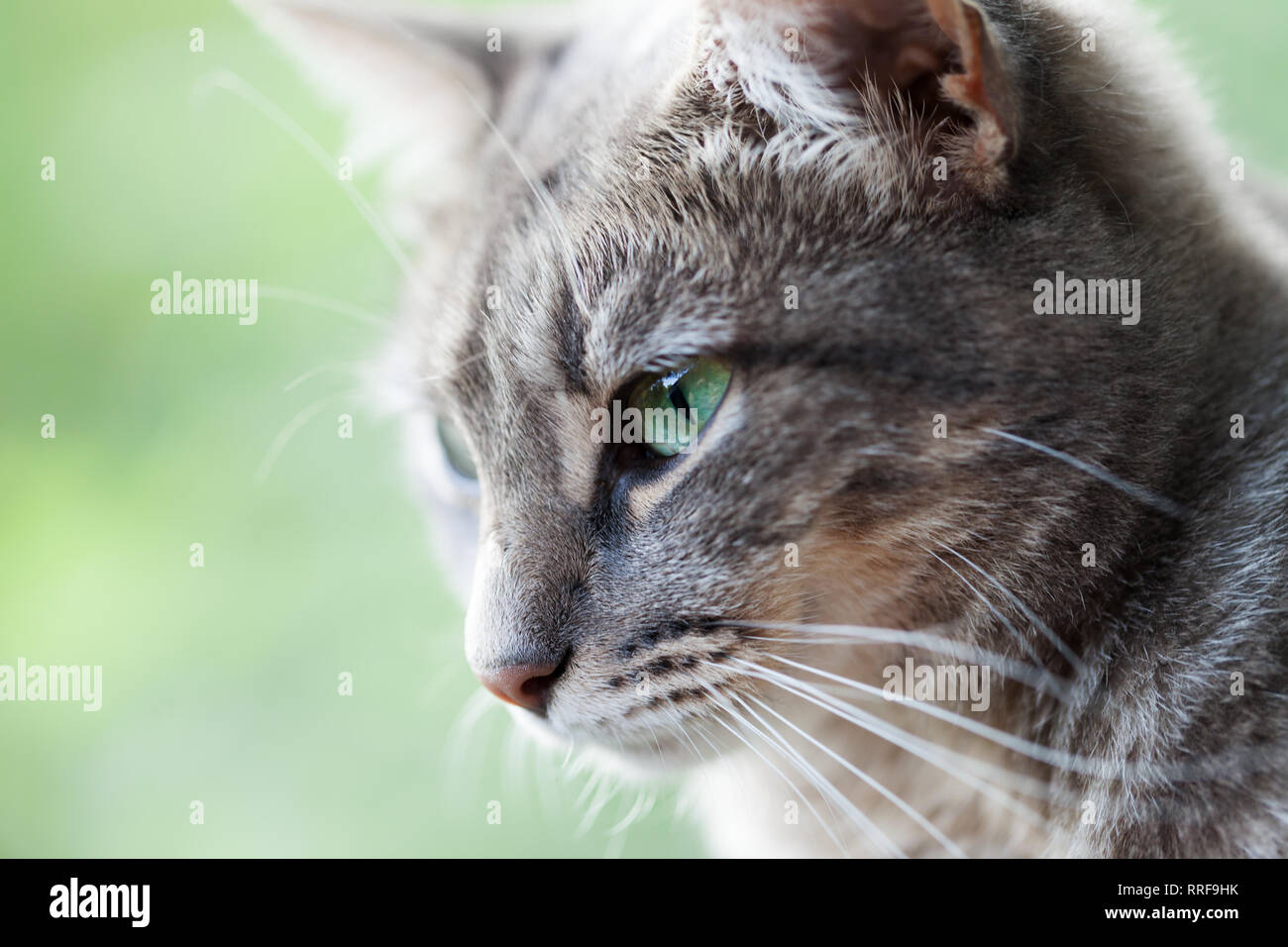 12ea8c8453de75 Portrait of a gray cat with green eyes . Close-up view. Selective focus.