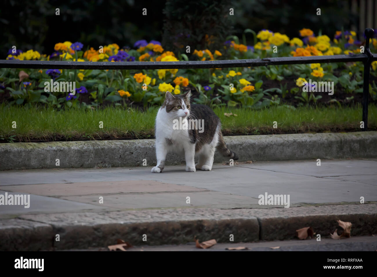 London, UK. 26th Feb, 2019. Larry, the Downing Street cat walks up the road past colourful flower beds as Ministers arrive for their weekly cabinet meeting at 10 Downing Street in London. Credit: Keith Larby/Alamy Live News Stock Photo