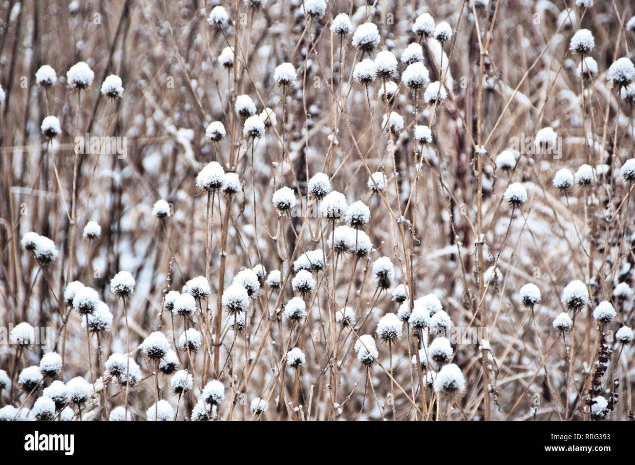 dry common Thistle plants in winter covered with snow - Stock Image