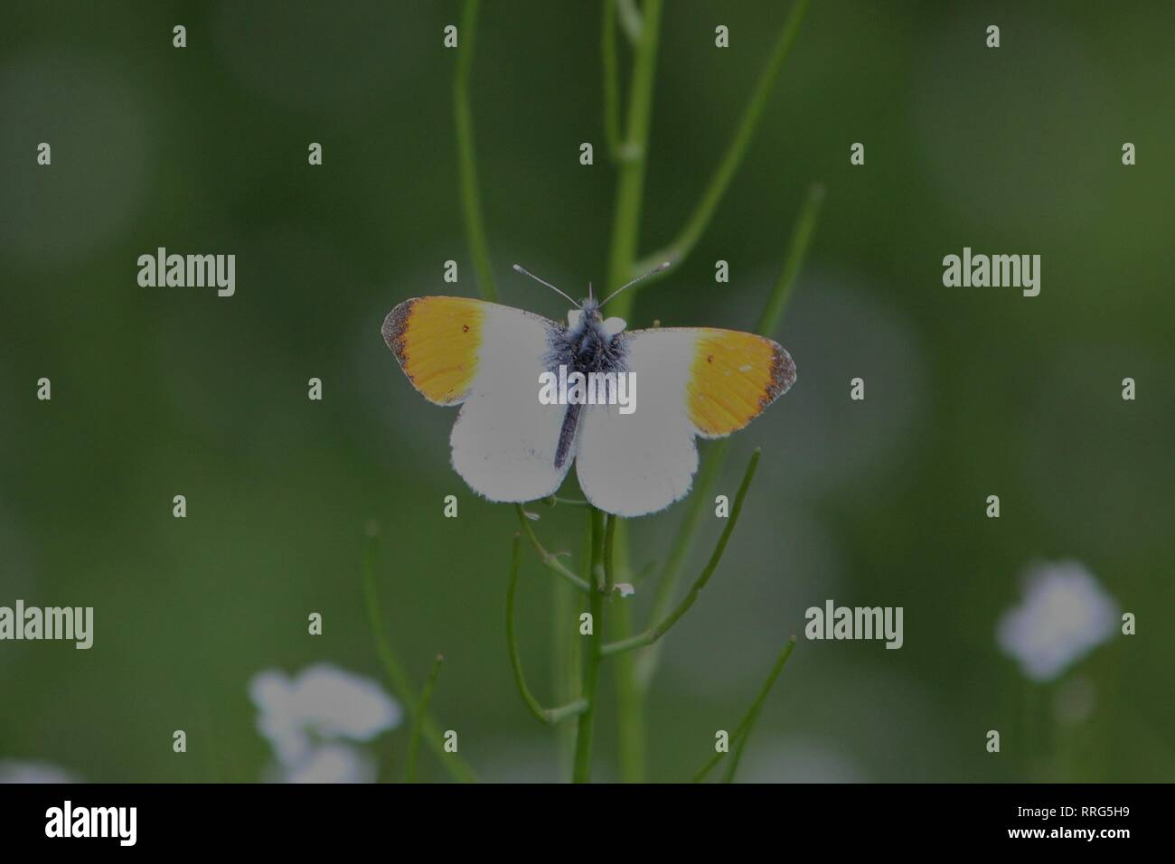Orange Tip (Anthocharis cardamines) on a meadow near Waltrop, Germany - Stock Image