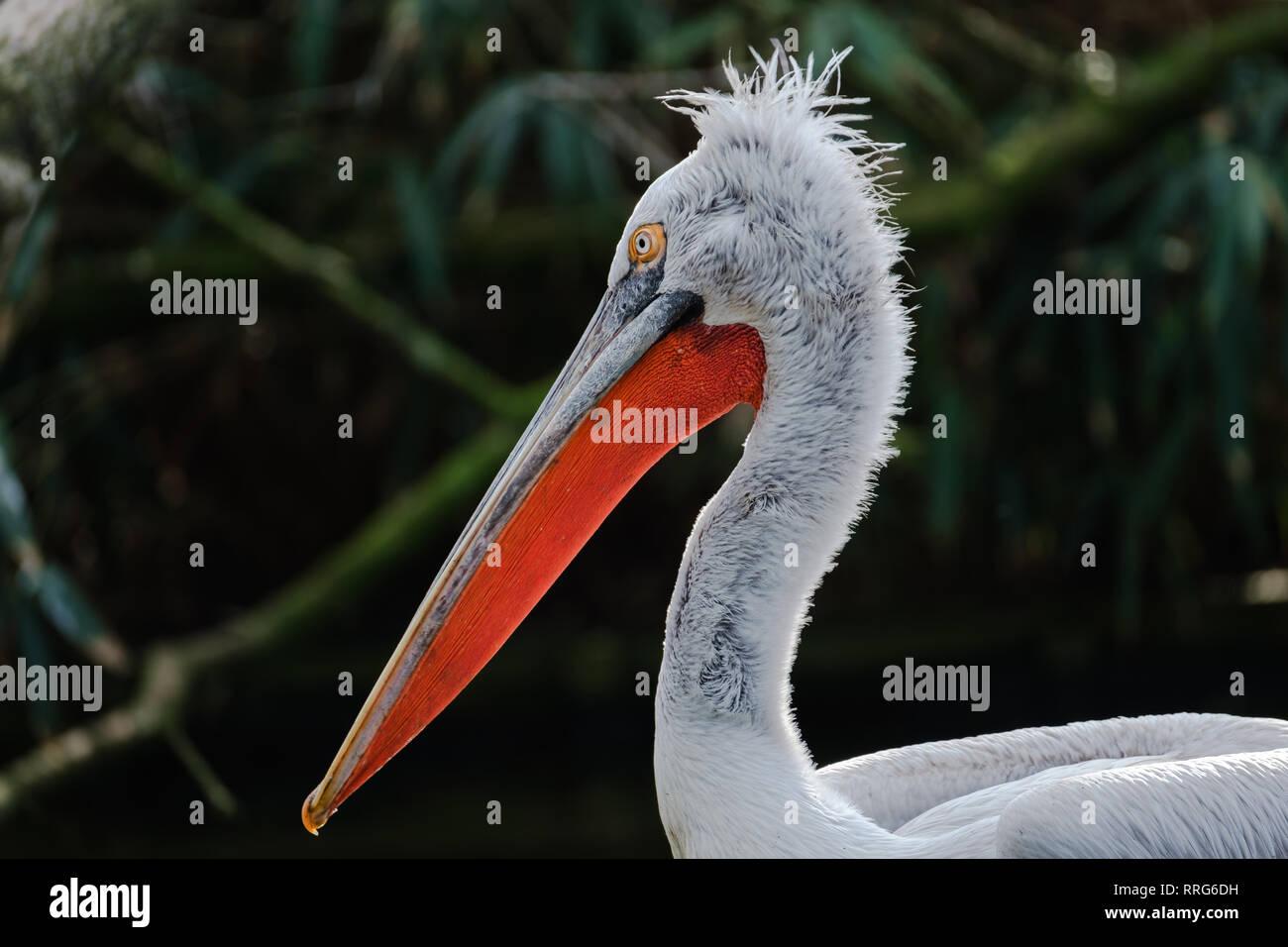 A portrait of a Dalmatian Pelican Stock Photo