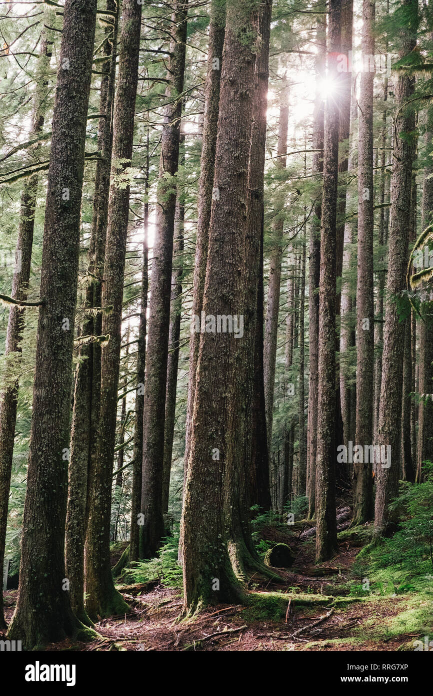 Evergreen Trees in Forest - Stock Image