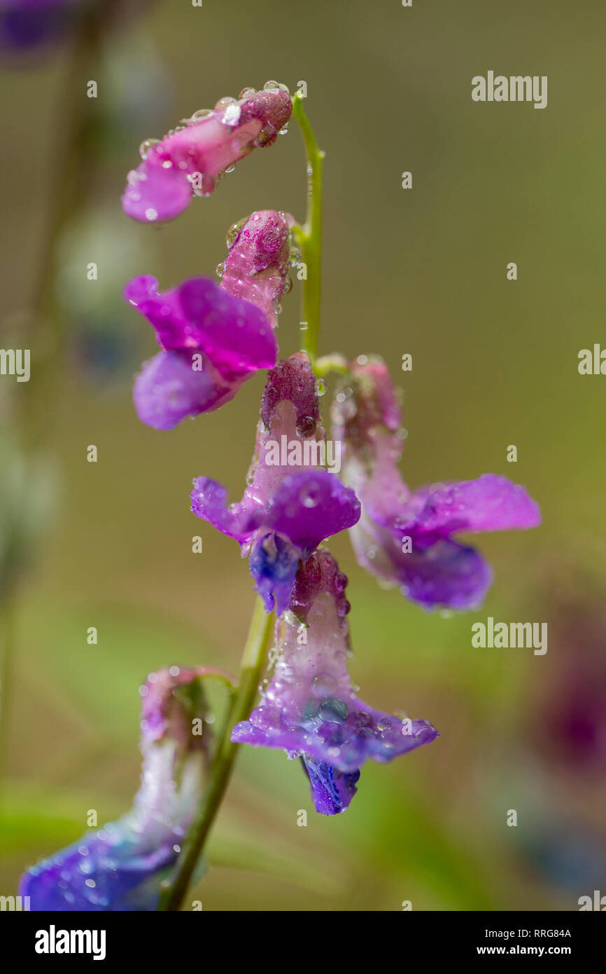 botany, sweet peas, spring vetchling (Lathyrus vernus), on Nallenberg, Rhoen, Germany, Additional-Rights-Clearance-Info-Not-Available - Stock Image