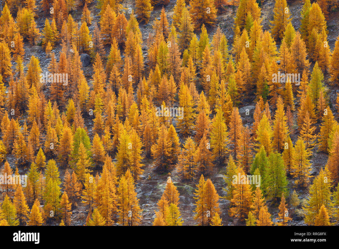 botany, coniferous forest in autumn, Switzerland, Additional-Rights-Clearance-Info-Not-Available - Stock Image
