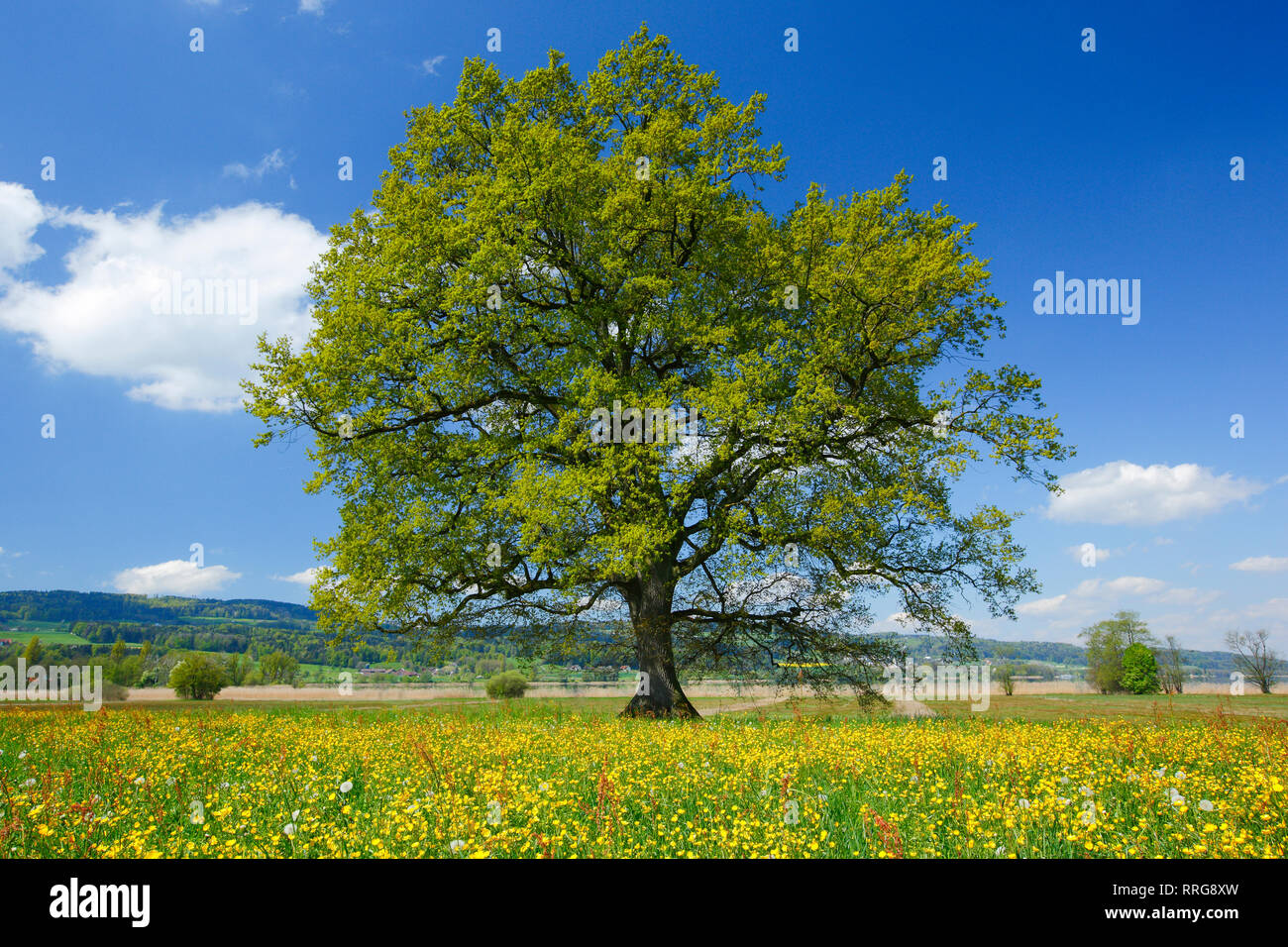 botany, oak, Greifensee (Lake Greifen), Zurich, Switzerland, Additional-Rights-Clearance-Info-Not-Available - Stock Image