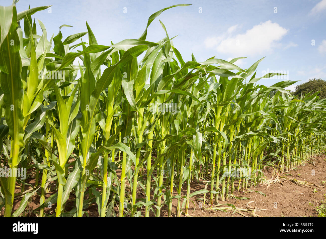 botany, corn (Zea mays), field, Germany, Additional-Rights-Clearance-Info-Not-Available - Stock Image