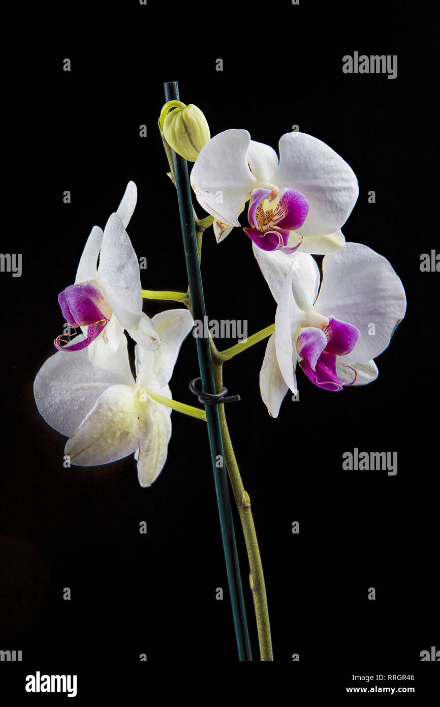 A studio photo of a beautiful white and purple orchid flower against black background. Stock Photo