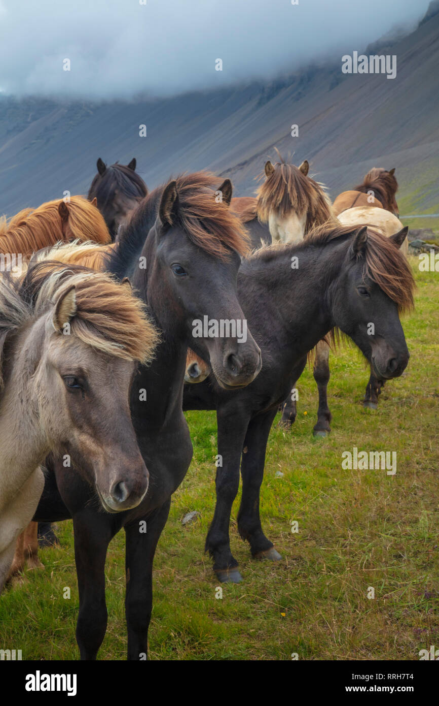 Herd of young Icelandic horses near Hofn, south east Iceland. Stock Photo