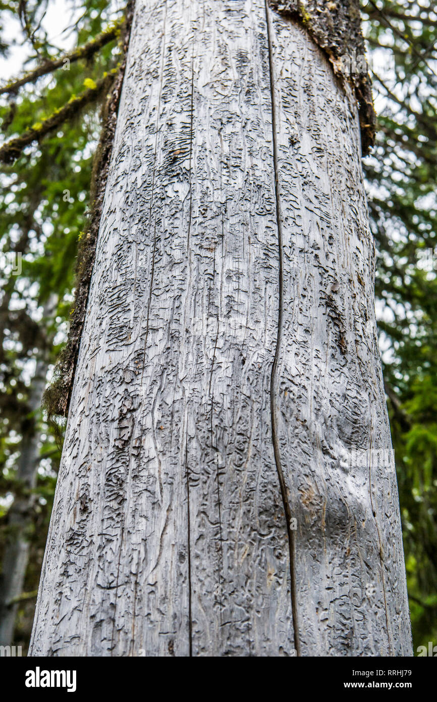A tree trunk in the central Cascade mountains showing damage from bark beetles. - Stock Image