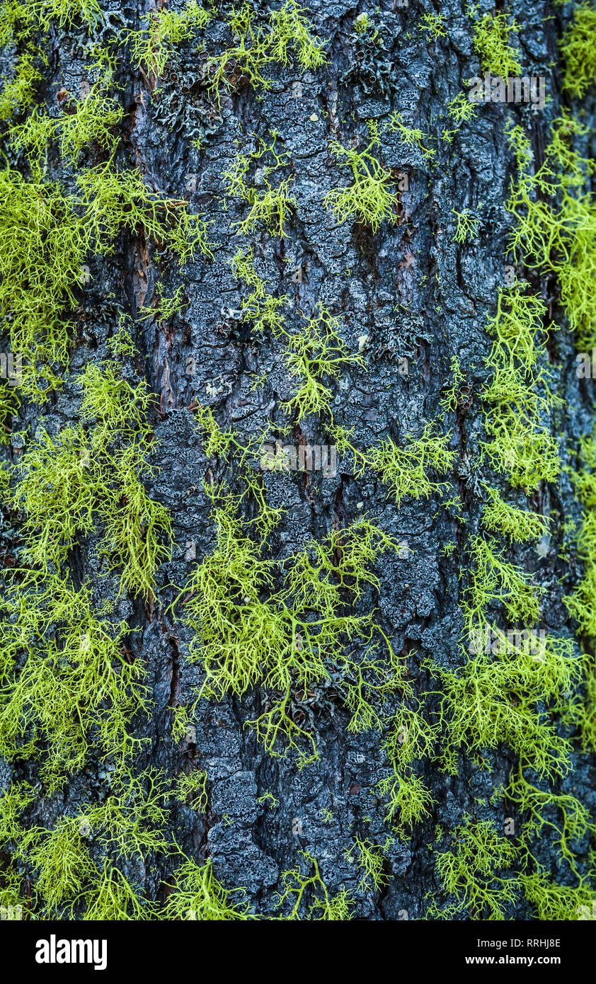A tree trunk with lichen growing on it's bark. Central Cascade mountains of Washington State. - Stock Image