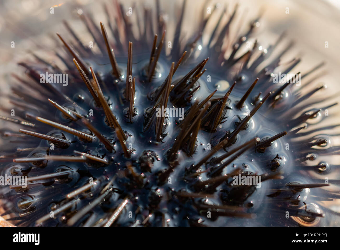 Closeup of a sea urchin on a sunny but stony beach  Spending