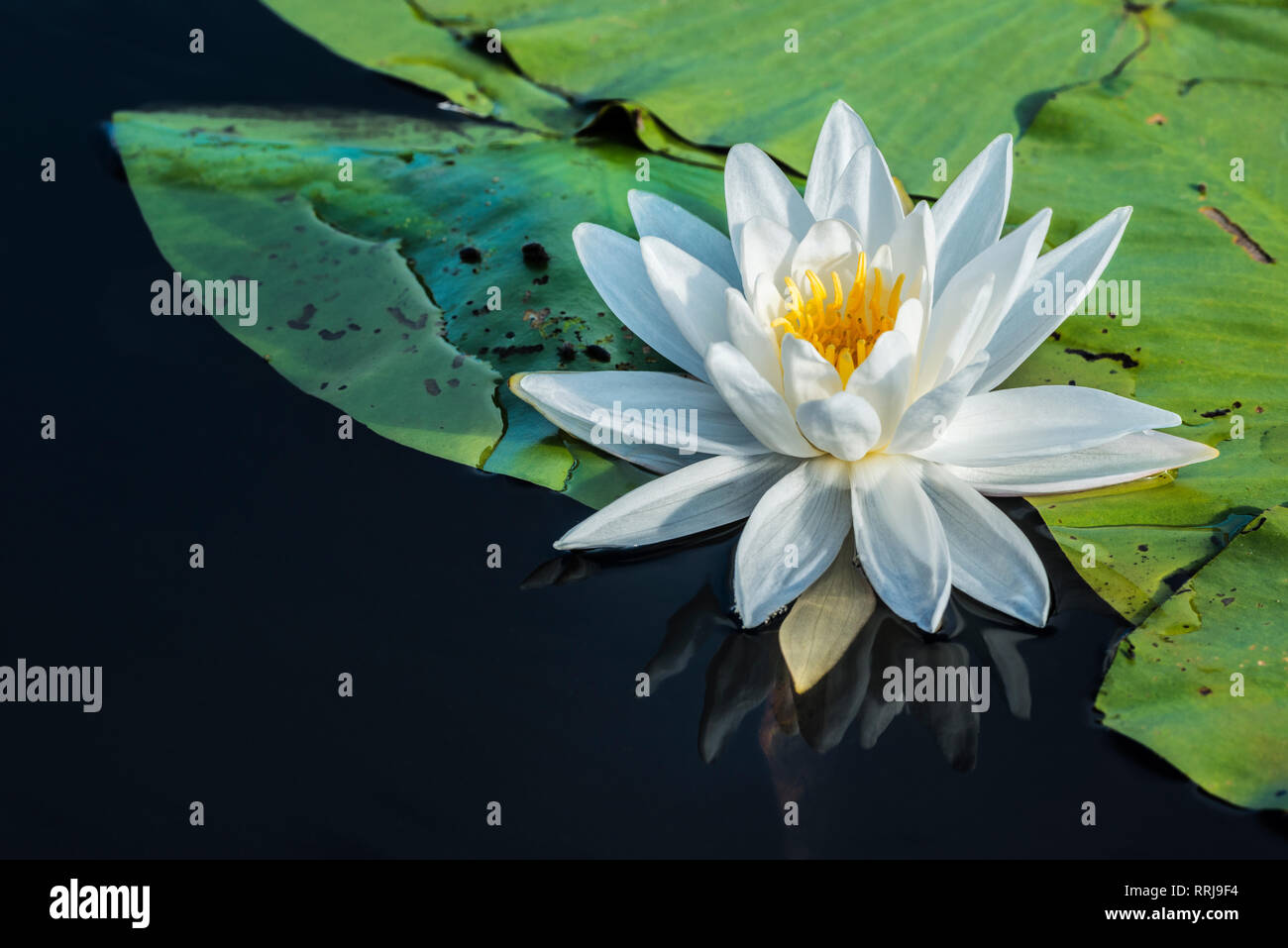 botany, Fragrant White Water Lily (Nymphaea odorata) in wetland on Horseshoe Lake in Muskoka, Additional-Rights-Clearance-Info-Not-Available Stock Photo