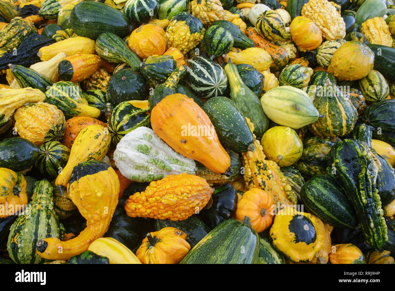 botany, ornamental pumpkins, Switzerland, Additional-Rights-Clearance-Info-Not-Available - Stock Image