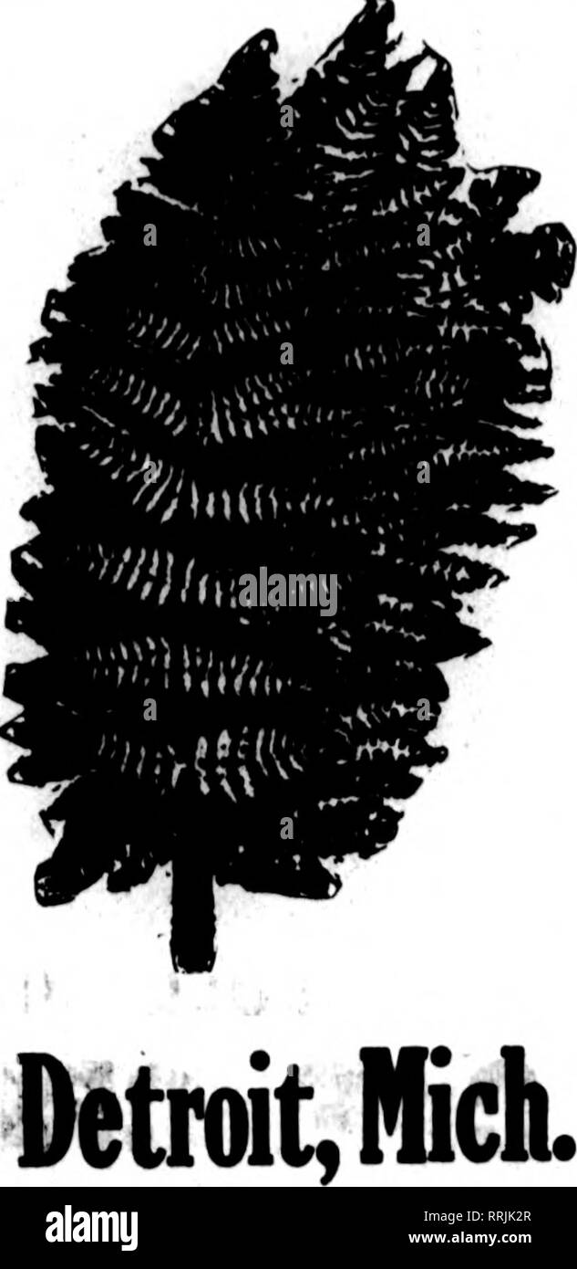 517d50b266a6 Florists  review  microform . Floriculture. FANCY FERNS Finest atock in the  .