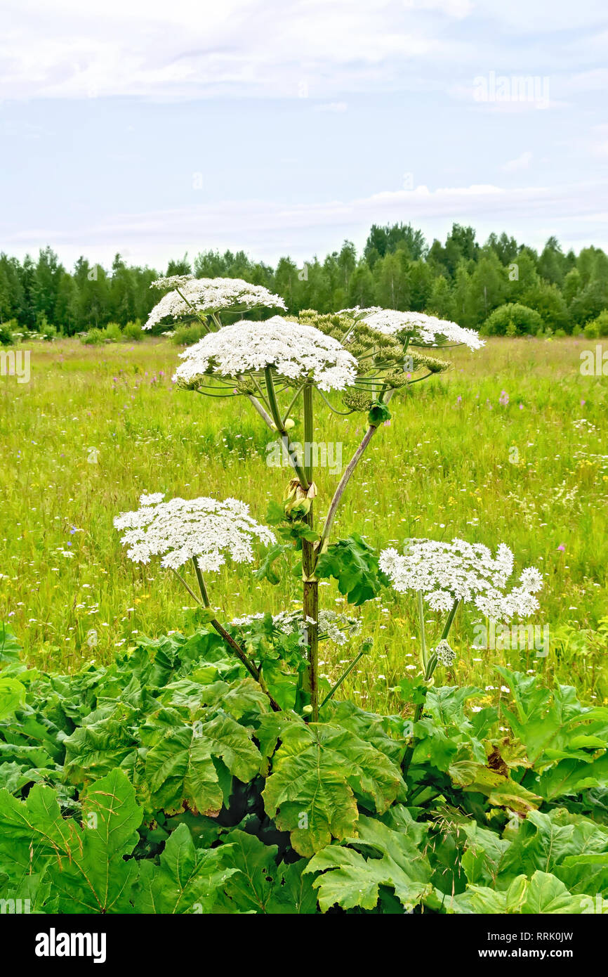 Fiori Nei Bianchi.Blooming Of White Flowers The Umbrella Heracleum Sosnowski In