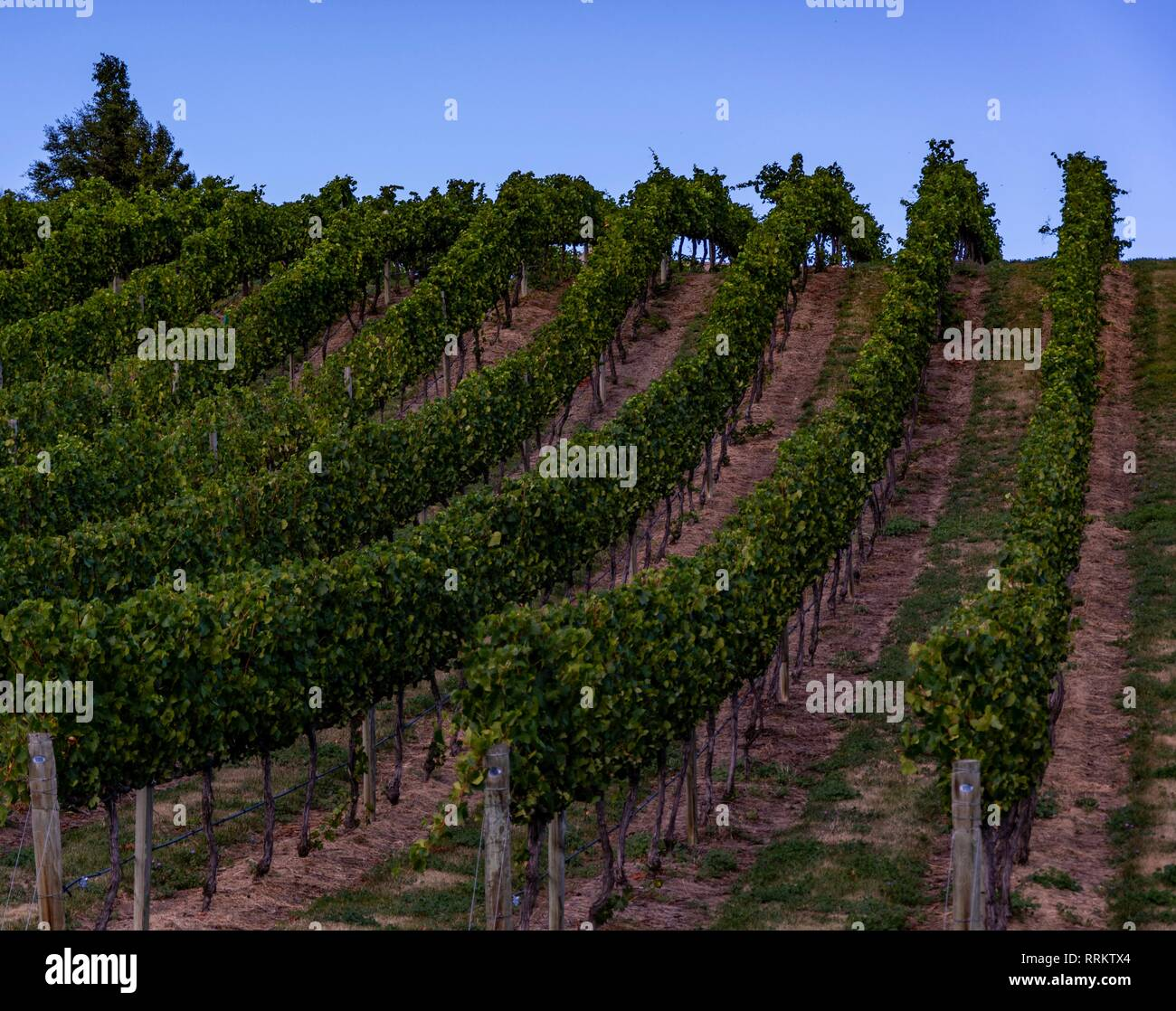 Vineyards in Central Otago, New Zealand, against blue sky - Stock Image