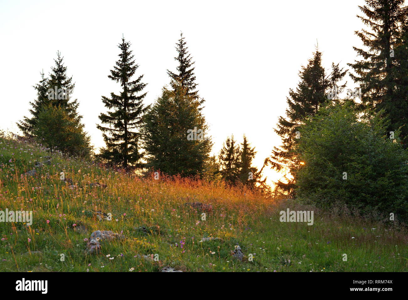 old huge spruces and mountain meadow in light of sunset - Stock Image