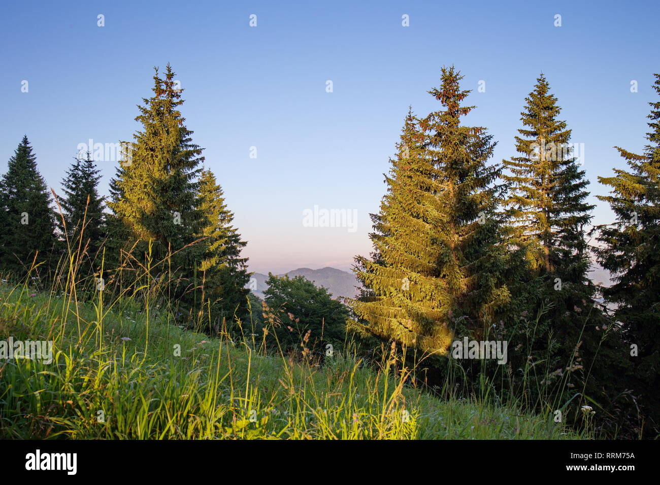 Monumental old spruces in national park in the summer evening, idyll with blue sky and green trees in sunset light - Stock Image