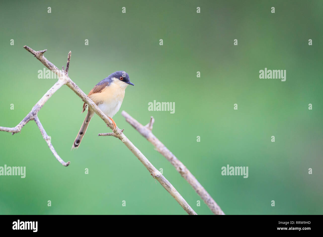 Ashy Prinia (Prinia socialis), adult in breeding plumage perched on branch. Keoladeo National Park. Bharatpur. Rajasthan. India. - Stock Image