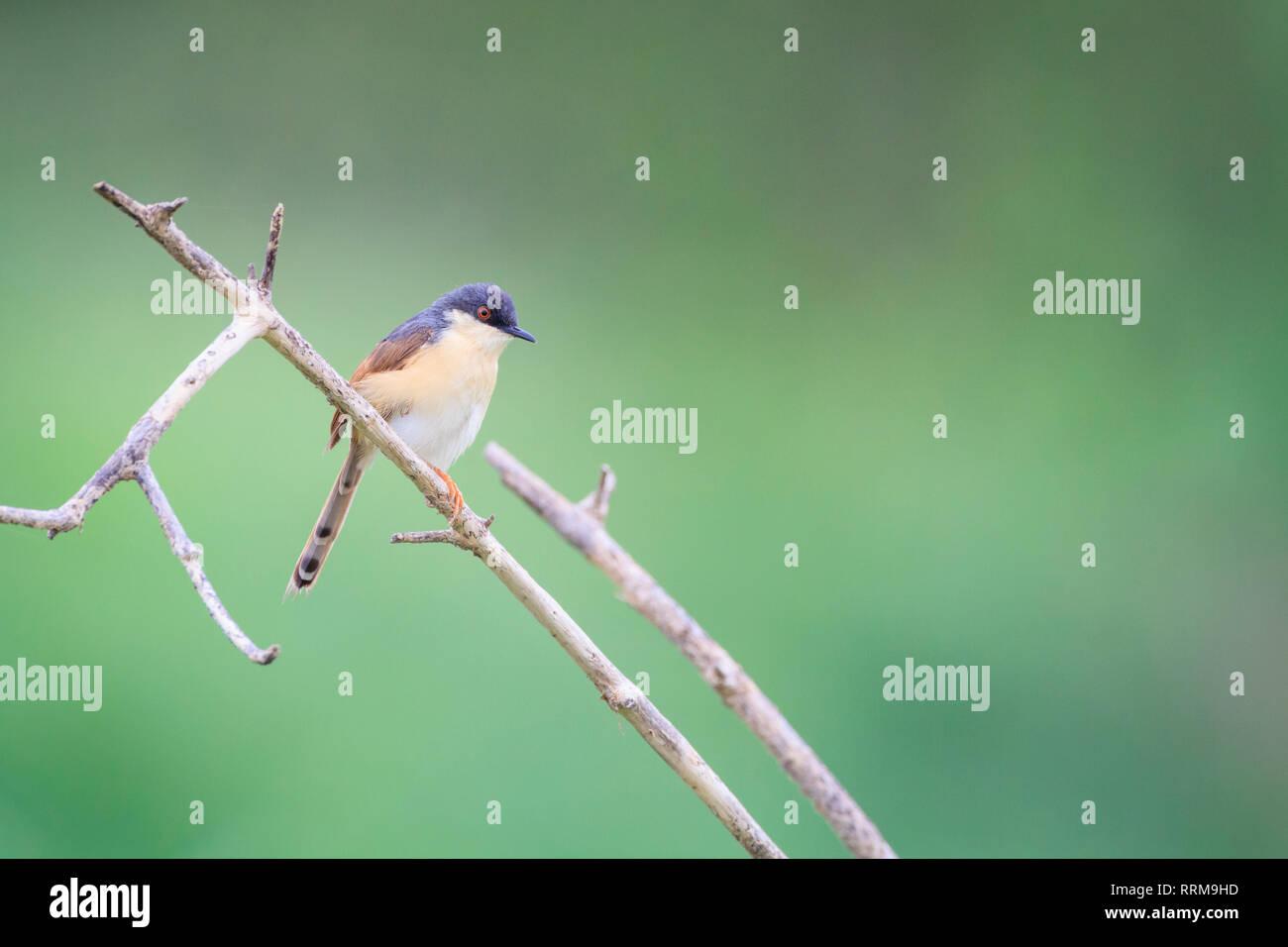 Ashy Prinia (Prinia socialis), adult in breeding plumage perched on branch. Keoladeo National Park. Bharatpur. Rajasthan. India. Stock Photo