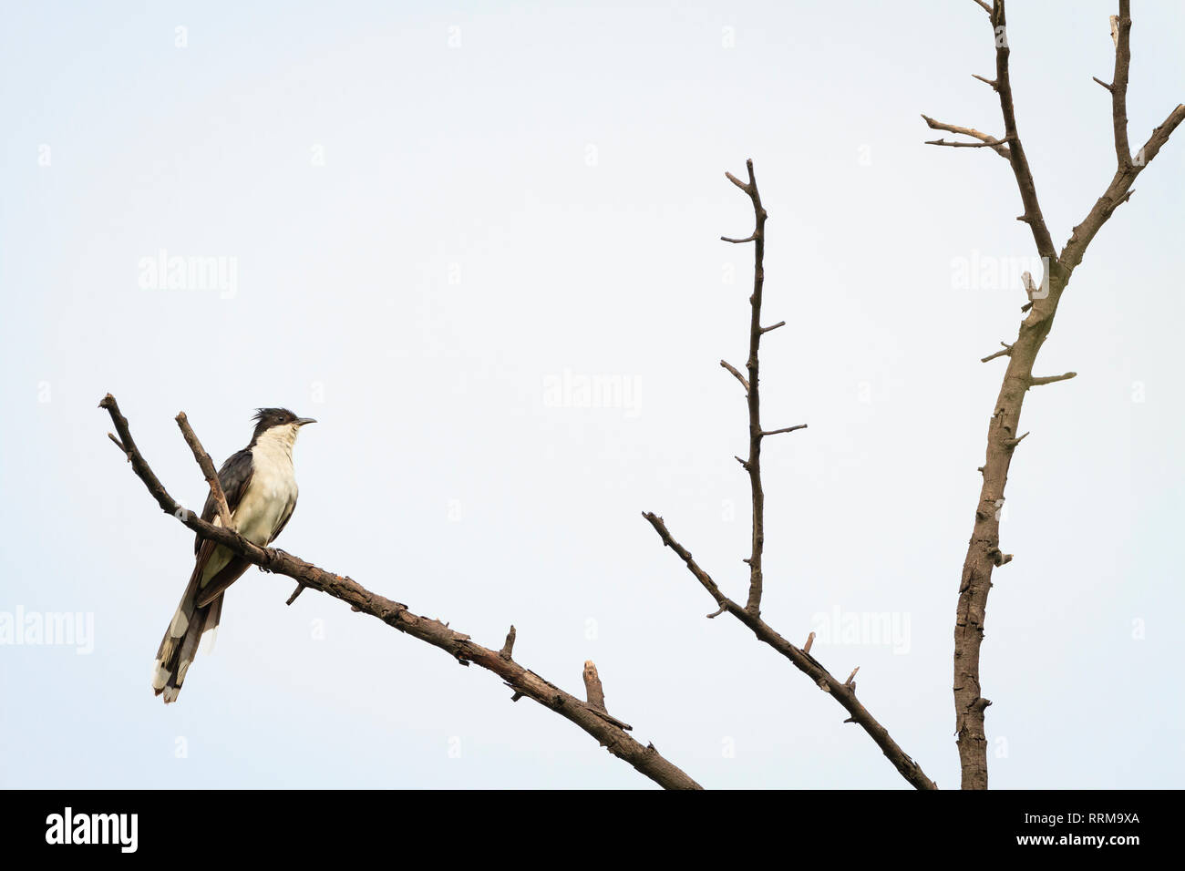 Jacobin Cuckoo (Clamator jacobinus) perched on tree. Keoladeo National Park. Bharatpur. Rajasthan. India. - Stock Image