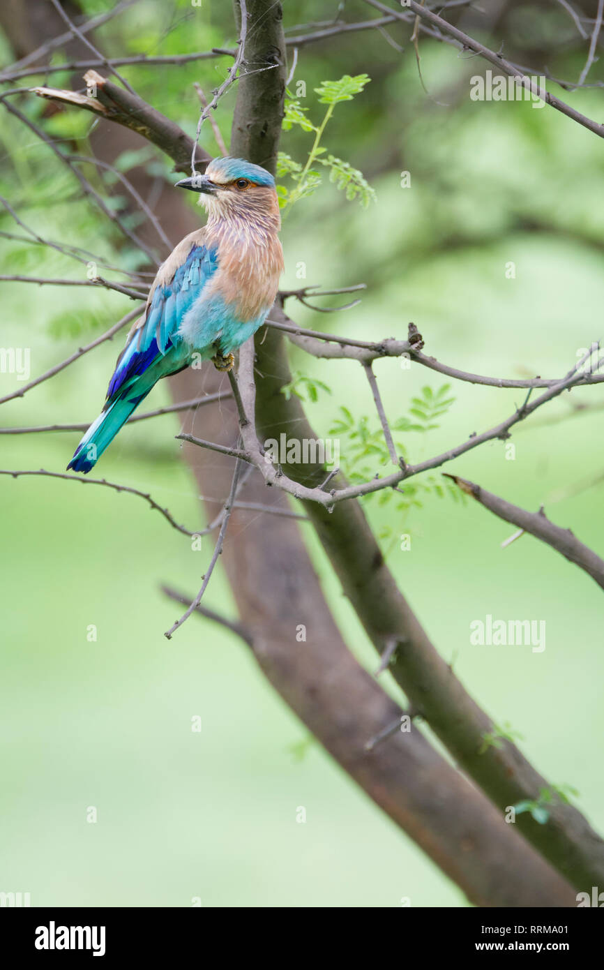 Indian Roller (Coracias benghalensis) perched on branch. Keoladeo National Park. Bharatpur. Rajasthan. India. - Stock Image