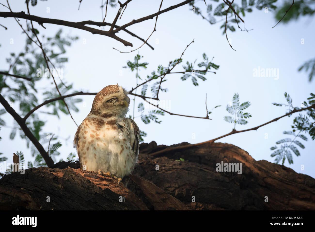 Spotted Owlet (Athene brama) preening feathers. Keoladeo National Park. Bharatpur. Rajasthan. India. - Stock Image